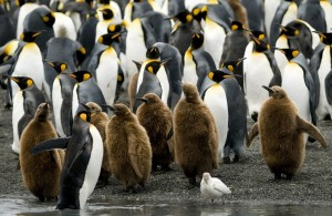 A mixed group of King Penguin chicks and adults standing at the water's edge - South Georgia.